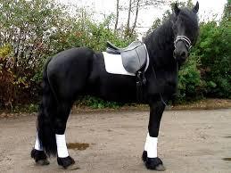 Picture 1:Friese paarden te koop